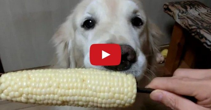 This dog is really good at eating corn on the cob