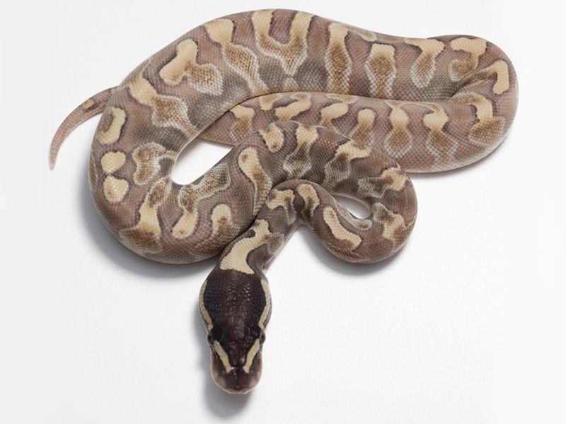 Enchi Ghi Lesser - Morph List - World of Ball Pythons