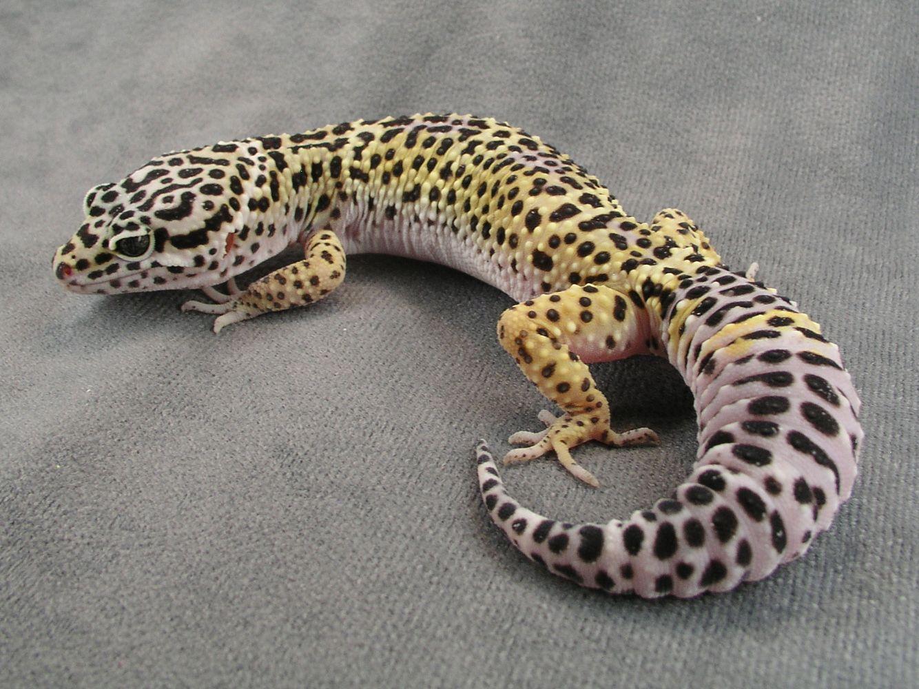 Leopard Gecko's Poop is Weird? (Again)?