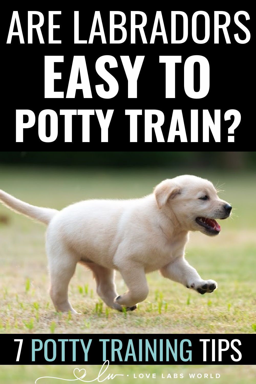 Are Labs Easy To Potty Train Training A Lab Puppy Labrador Puppy Training Potty Training Puppy