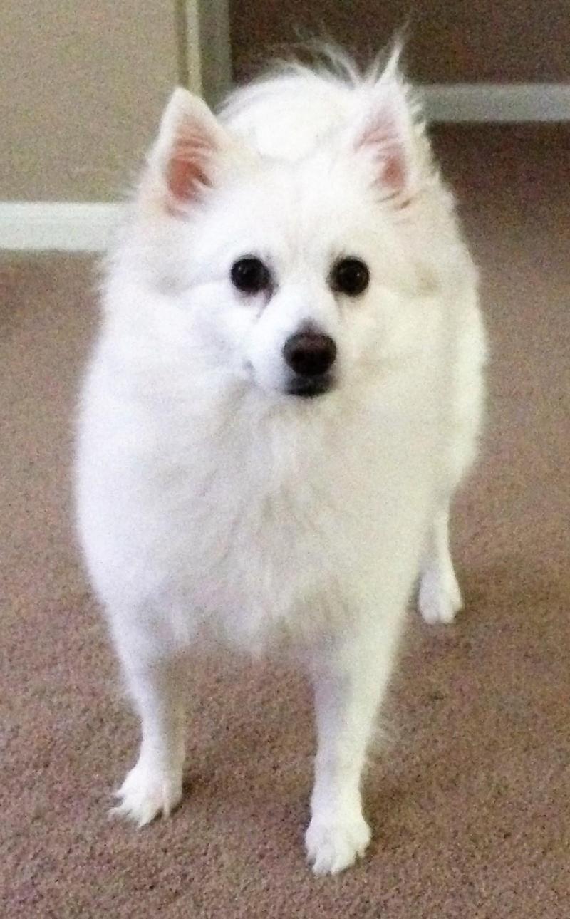 Adopt Lilly V on Dog search, Eskimo dog