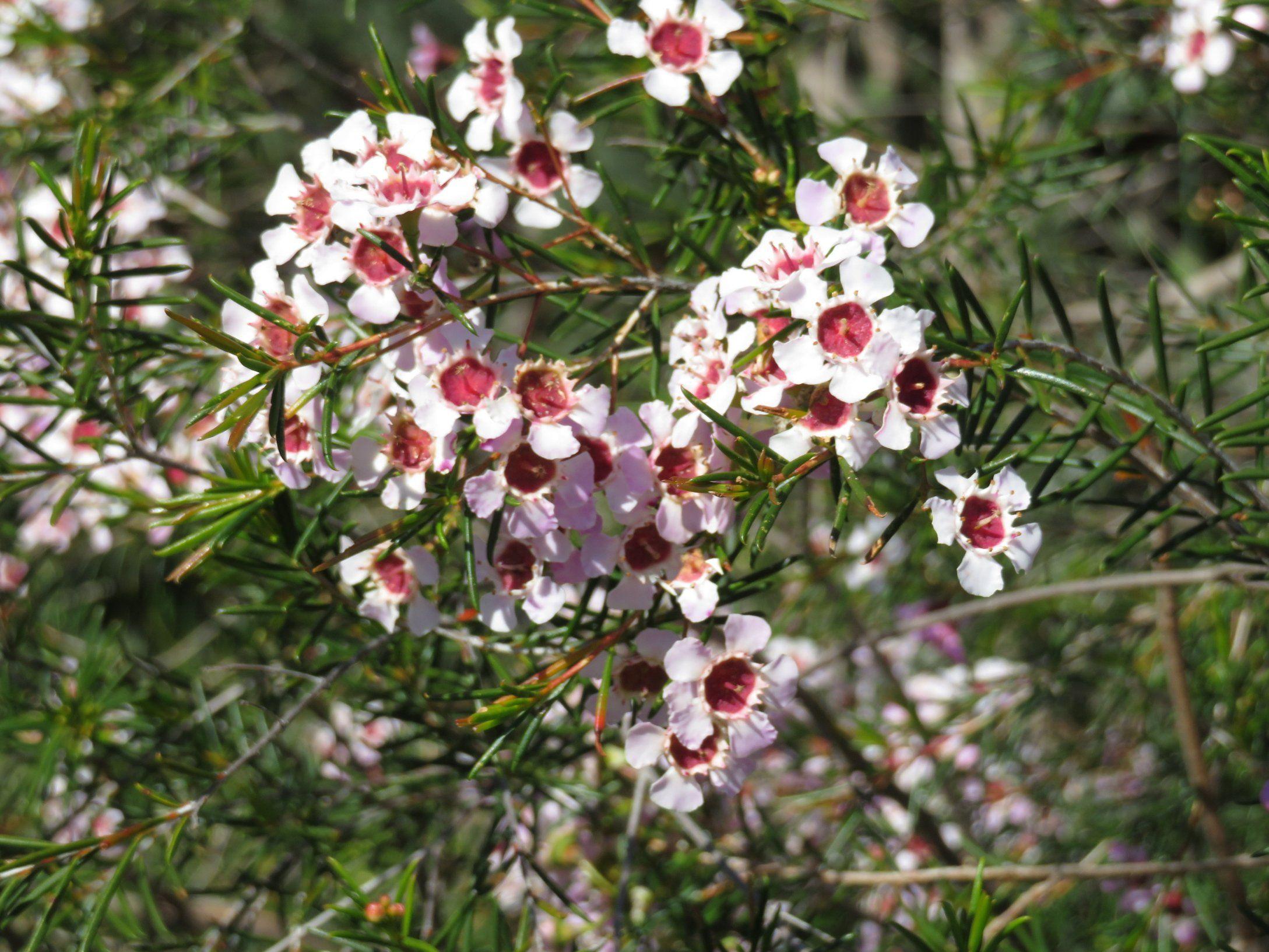 Garden trees names  WHITE GERALDTON WAX  FLOWERY PHOTOS  Pinterest