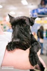 Adopt Angus On Petfinder Dogs And Puppies Scottie Dog Terrier