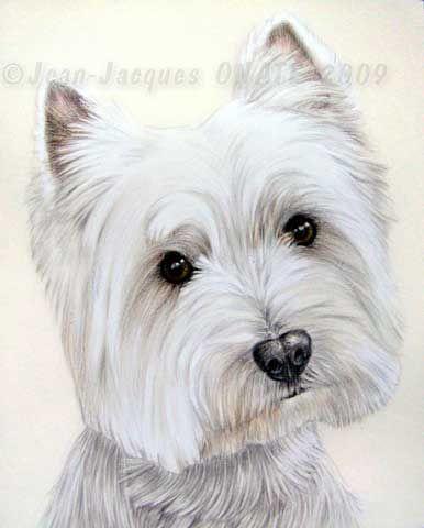 Portrait du chien westie dessiné au crayon d\'après photo | portrait ...