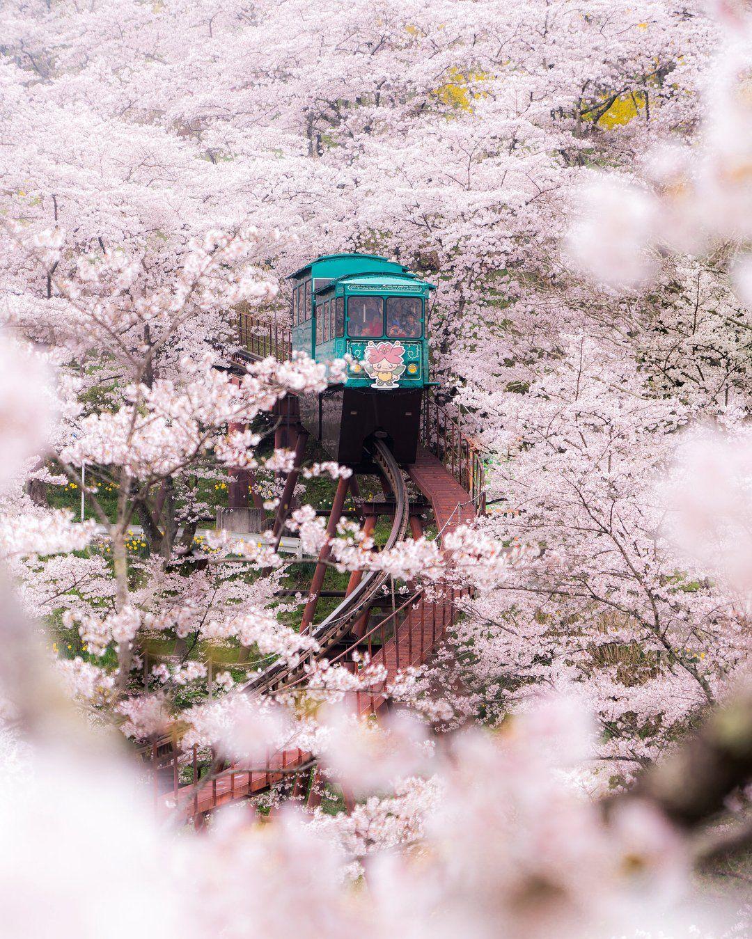 A Ride Through Cherry Blossoms In Fukushima Japan Mostbeautiful Cherry Blossom Japan Cherry Blossom Japan