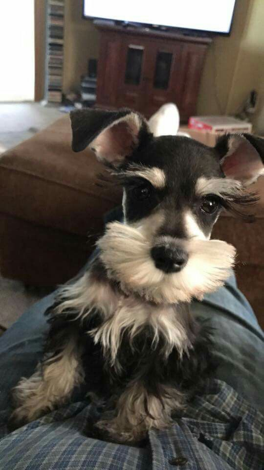 Gorgeous Four Month Old Baby Girl Schnauzer Puppy Cute Dogs