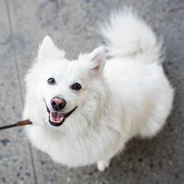 Lono Samoyed American Eskimo Dog Mix 3 Y O Metropolitan