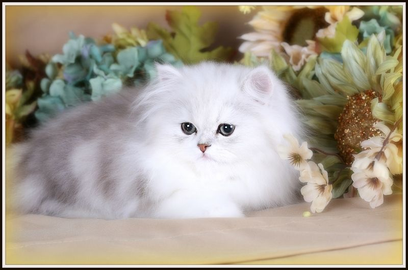 Silver And White Teacup Persian Kitten Teacup Persian Kittens Persian Kittens Cats Kittens