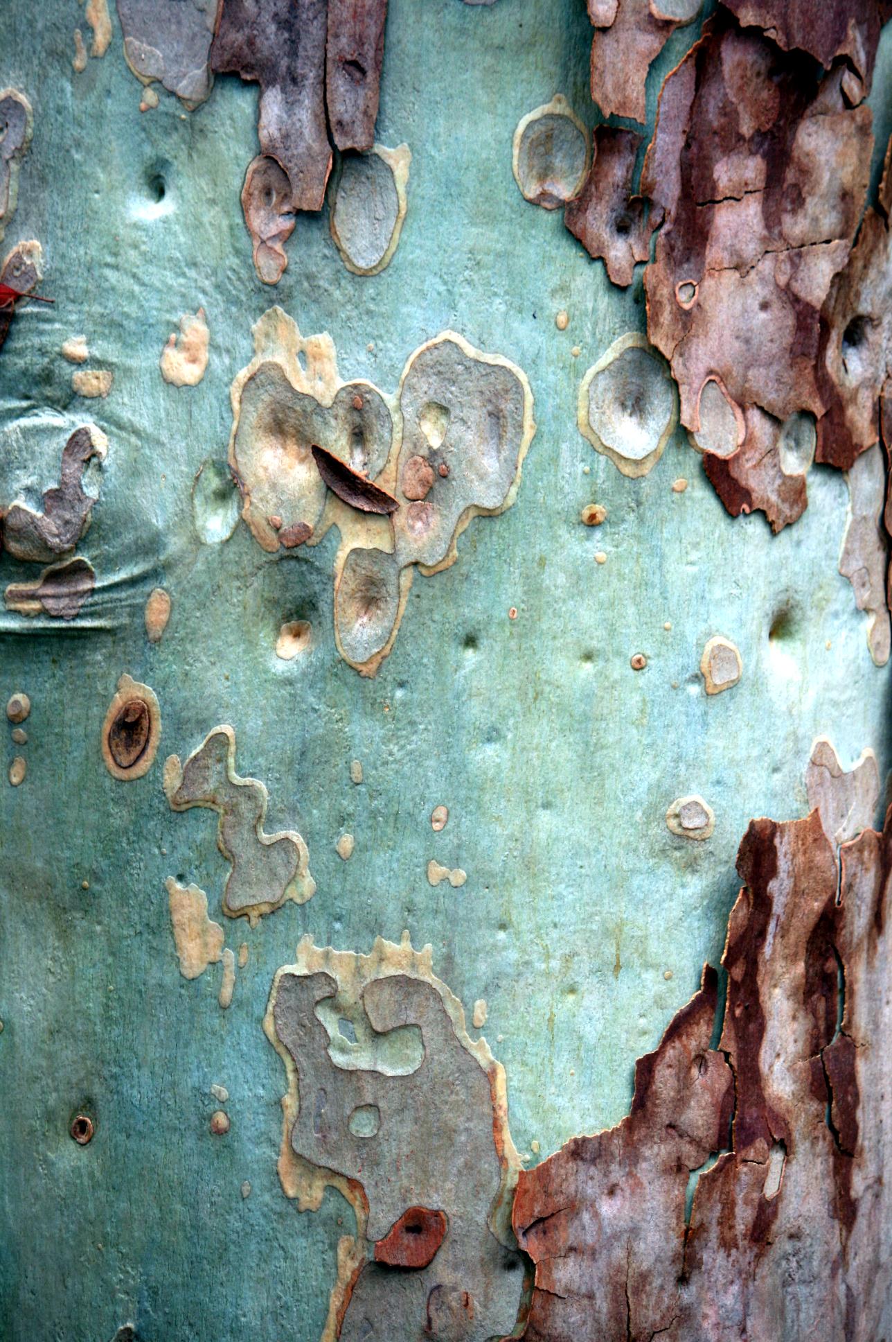 Beauty in nature - eucalyptus bark - art surface, texture, pattern, colour                                                                                                                                                      More