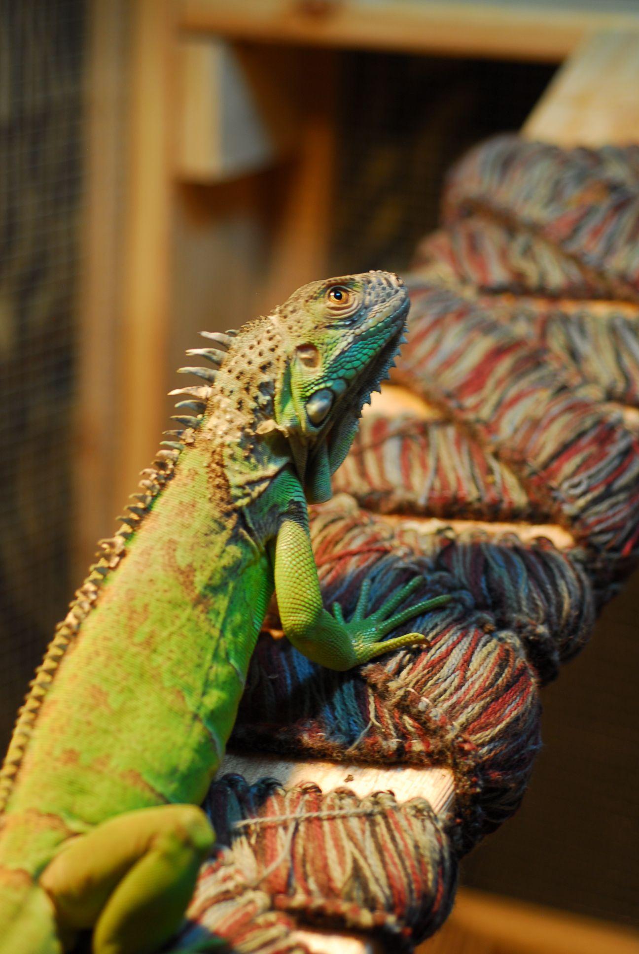 Pet Green Iguana. Thinking? Iguana, Green iguana, Iguana