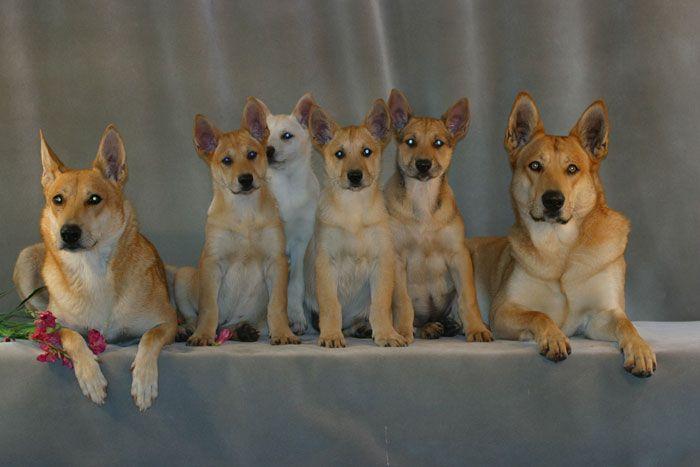 Carolina Dog Aka The American Dingo The Dixie Dingo The