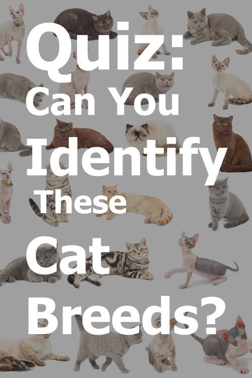 Quiz Can You Identify This Cat Breed Best Cat Breeds Cat Breeds Rare Cats