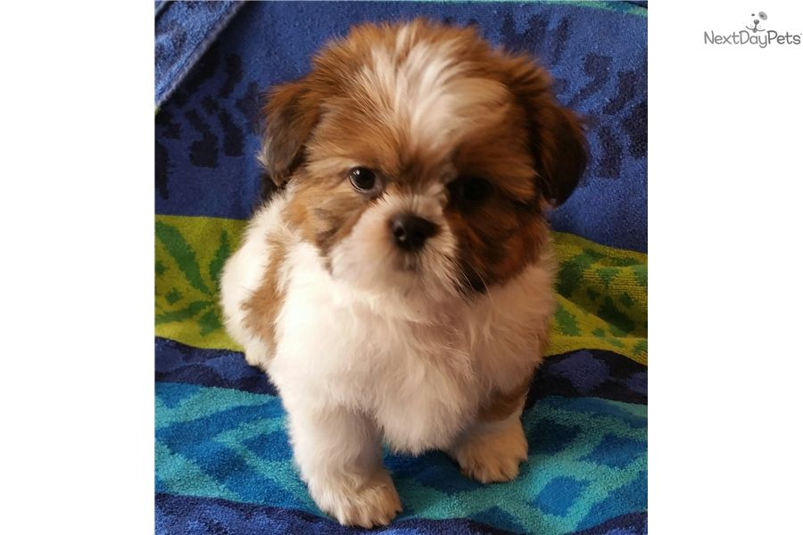 I Am A Cute Shih Tzu Puppy Looking For A Home On Nextdaypets Com Shih Tzu Puppy Puppies Shih Tzu