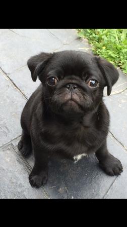 Sponsor Bobby Victoria Melbourne Pug Rescue Pugs Pug Toy