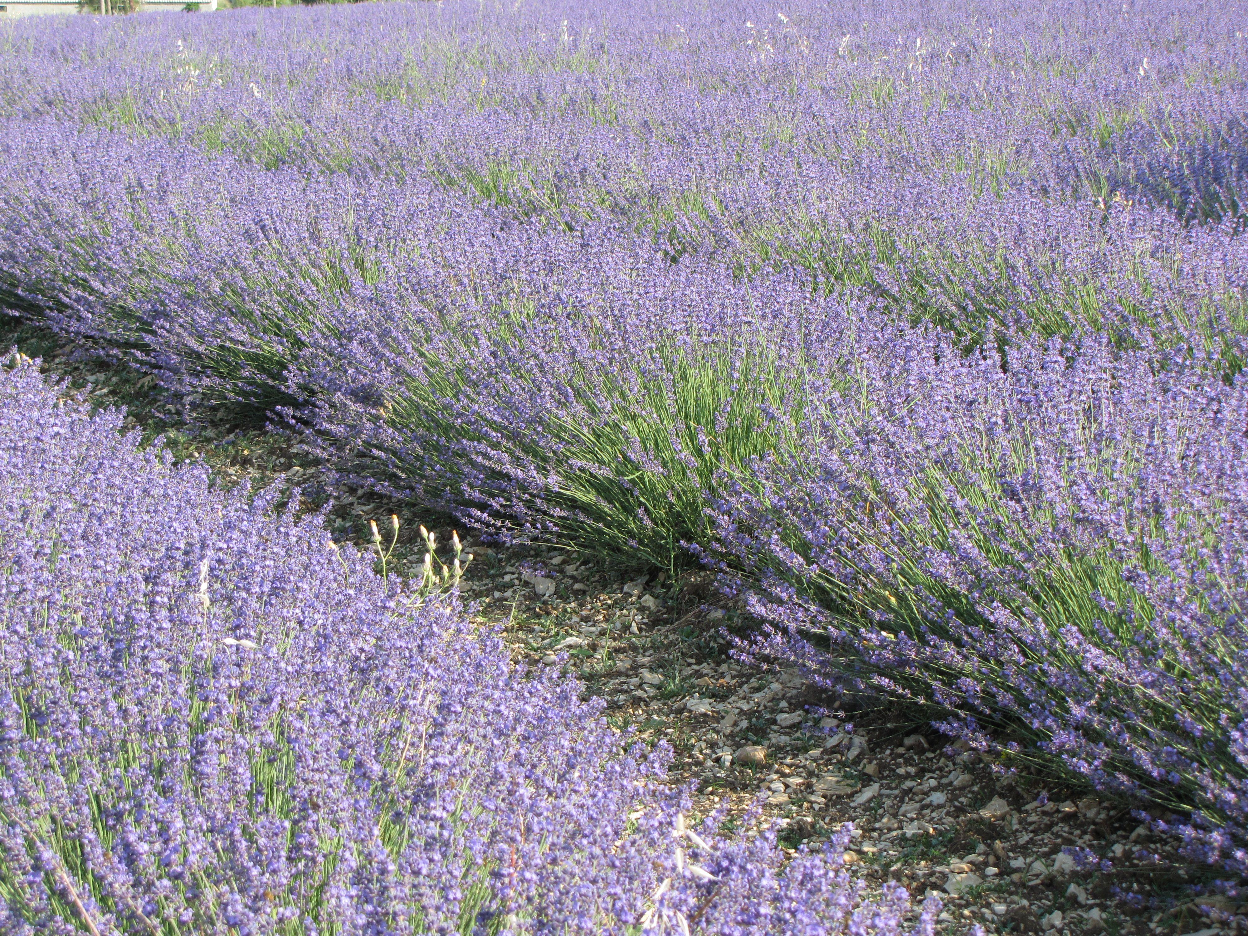 Champ de lavandes, Sault Provence France