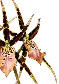 watercolor paintings, botanicals - Google Search