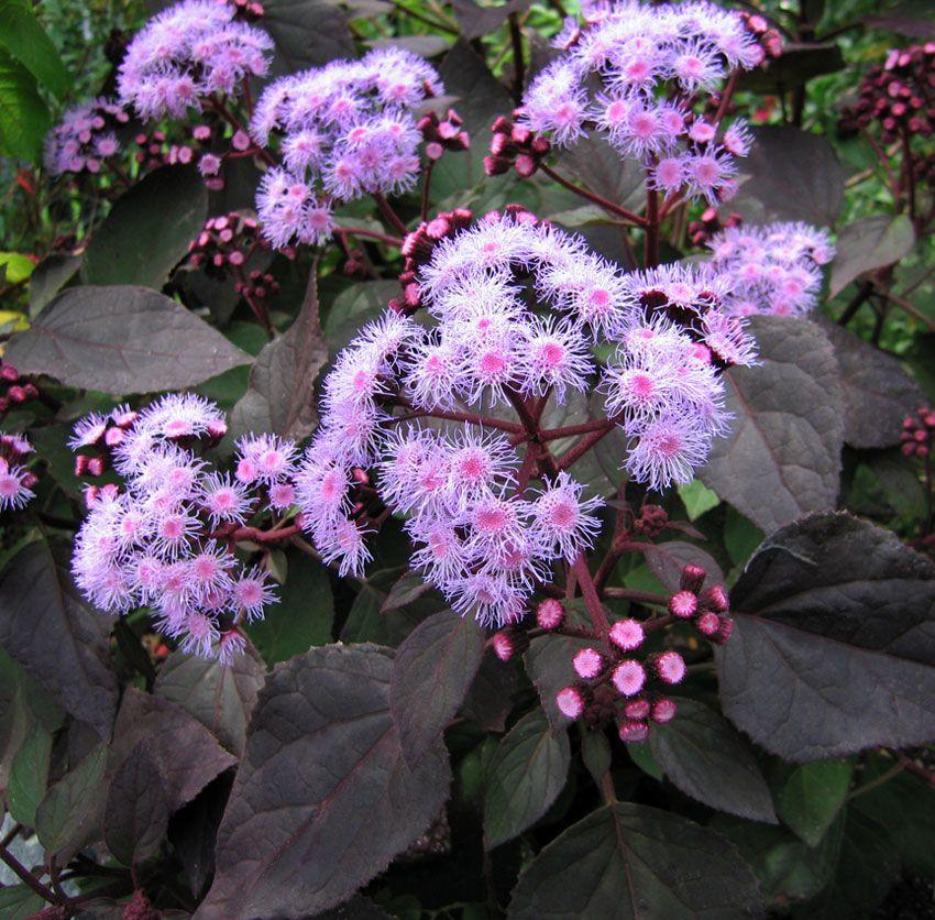 Ageratum corymbosum perennials Pinterest Plants Gardens and