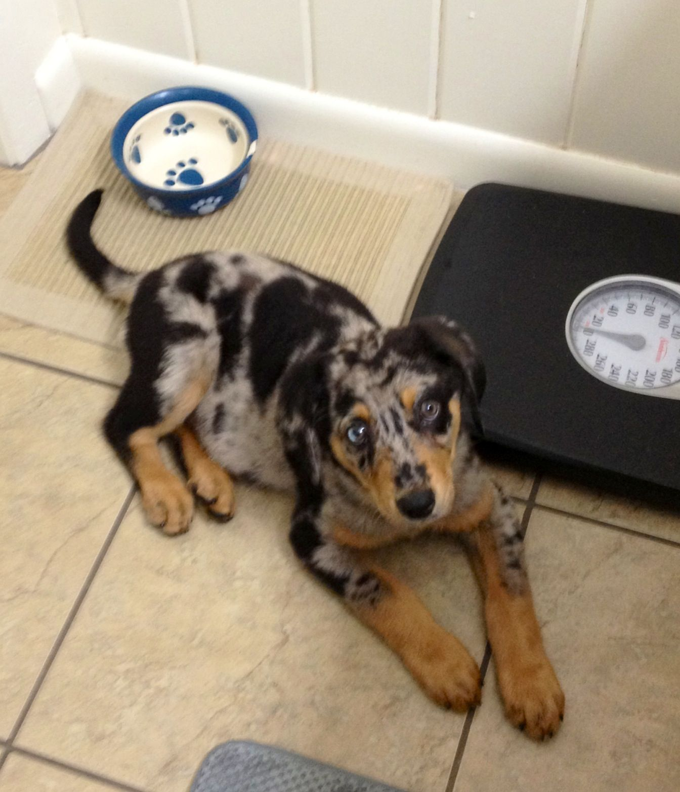 Black And Tan Coonhound Mixed With Catahoula My Beautiful Bugsy