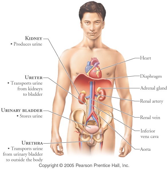 Male urinary system | Acknowledge Yourself with Urinary System ...