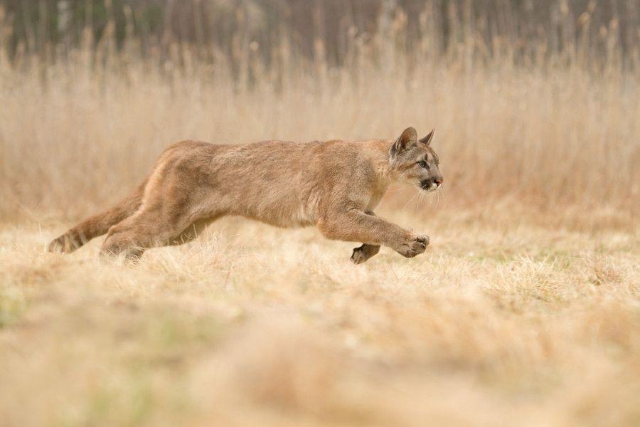 Puma Concolor (by Marketa Myskova)