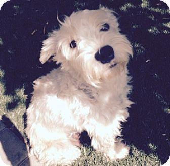 Redondo Beach, CA - Schnauzer (Miniature). Meet Laila, a dog for adoption. http://www.adoptapet.com/pet/11611861-redondo-beach-california-schnauzer-miniature