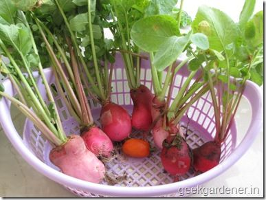 Radish harvest basket - container growing radish