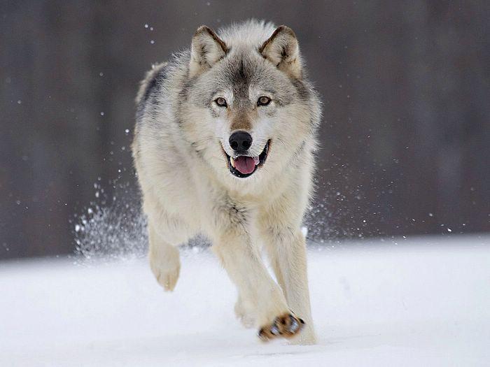 Wolves Pictures Animals Vol 2 Wolf In Snow Photo Gray Wolf Minnesota 1600 1200 4 Animals Beautiful Animals Wild Wolf Running