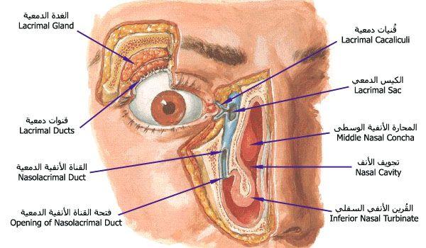 Lacrimal Jpg 600 350 Medical Words Anatomy Drawing Anatomy