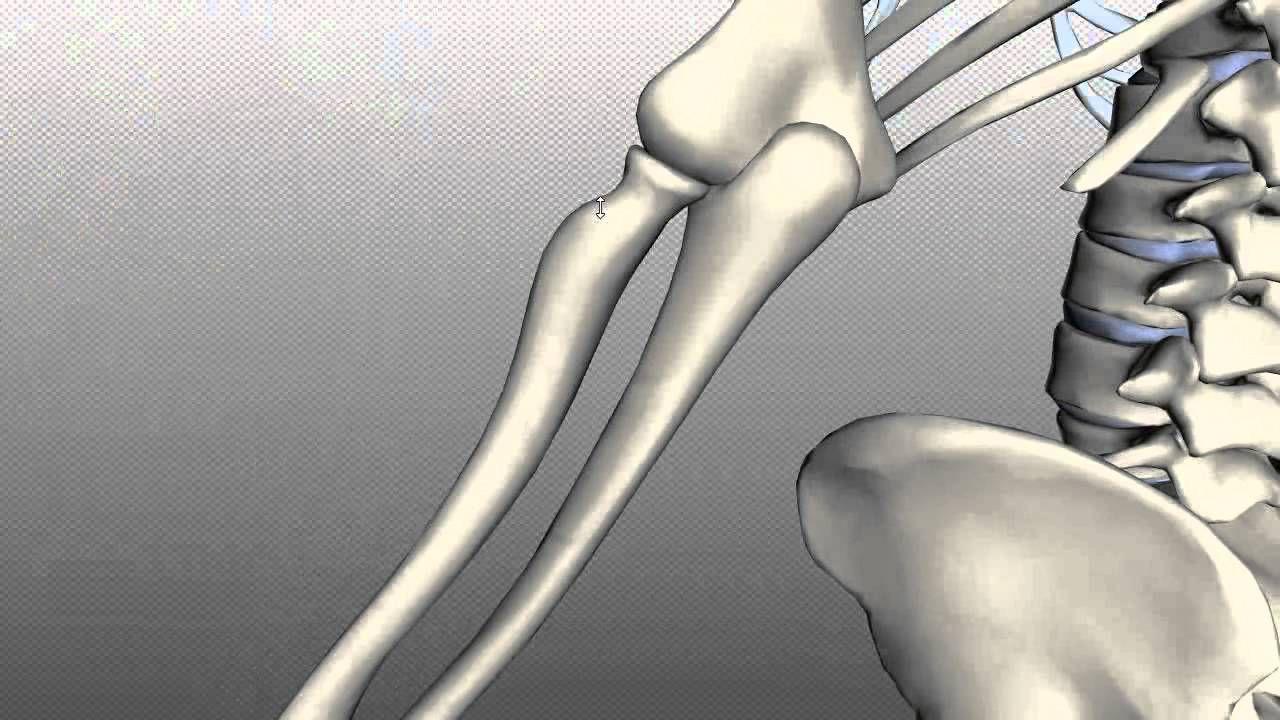 Radius and Ulna - Anatomy Tutorial | SCHOOL | Pinterest | Anatomy ...