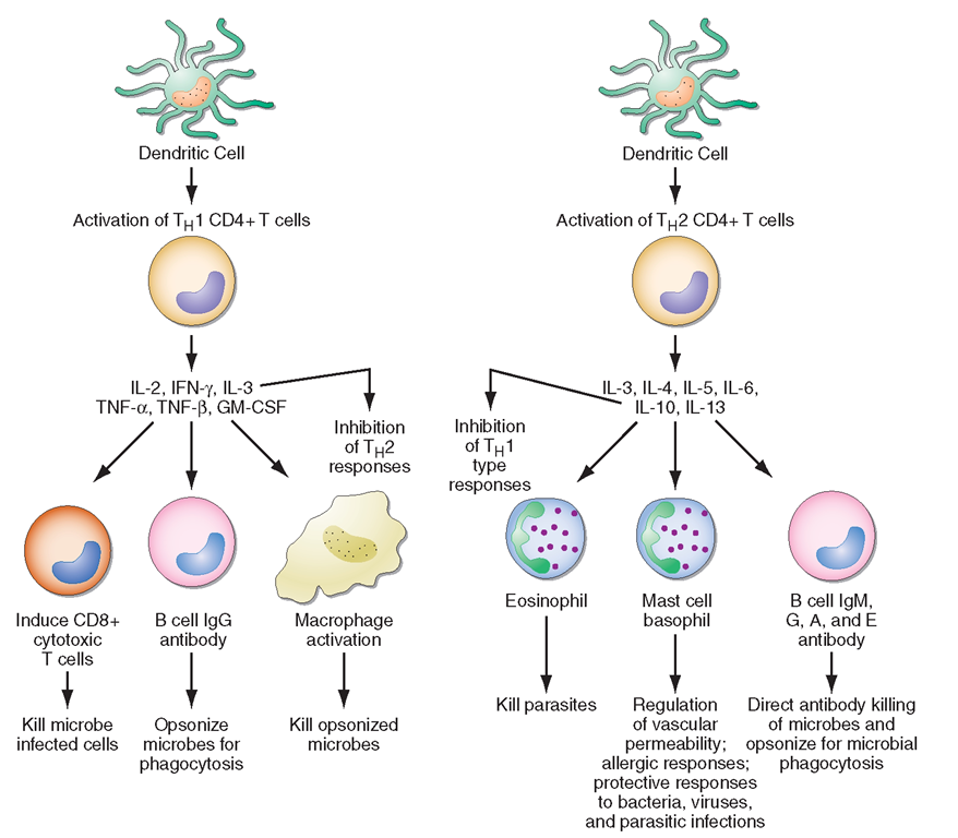 The biology of CD4+ T cells in the blood and central nervous system