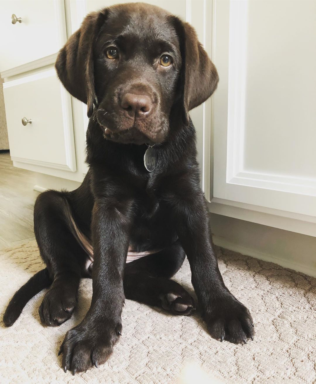 If You Love Labradors Visit Our Blog Labrador Labradorretriever Labradorcentral Retriever Labradors Retrievers Chocolate Lab Puppies Pretty Dogs Puppies