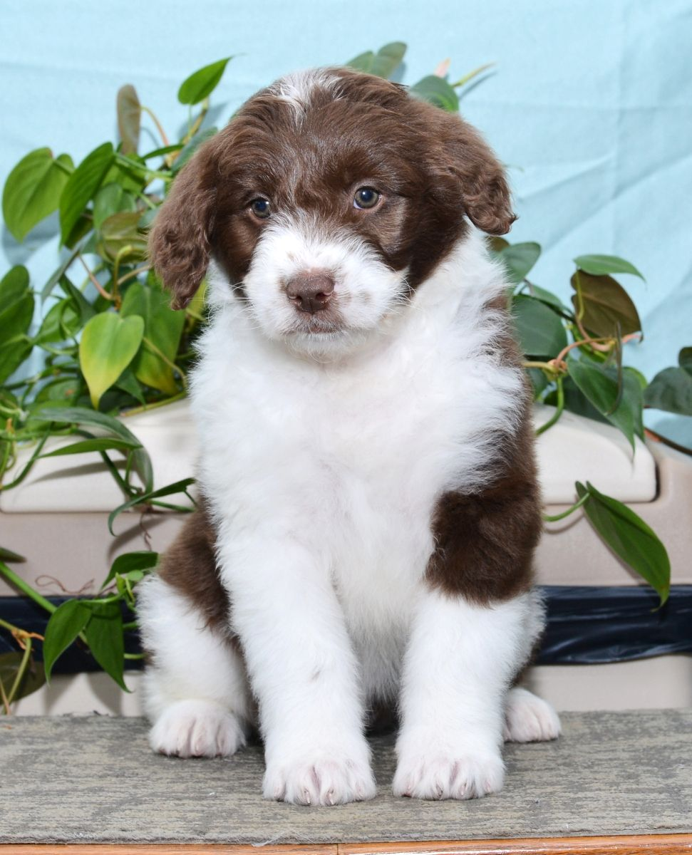 Sweet Aussiedoodle Aussiedoodle, Cute animals, Cute dogs