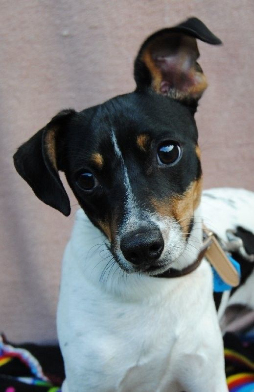 Timmy Small Male Miniature Fox Terrier Mix In Qld Petrescue Miniature Fox Terrier Rat Terrier Dogs Fox Terrier