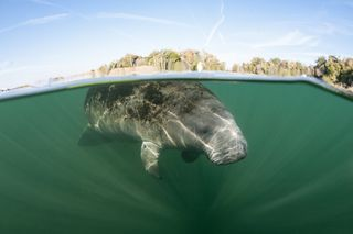 If you're interested in observing manatees, there are a few places in Florida that are certifiable sea cow hot spots.