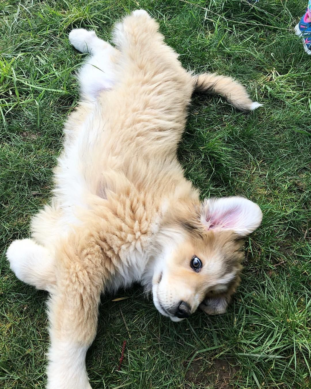Great Pyrenees Aussie Mix Cute Dogs Dogs Cute Puppies