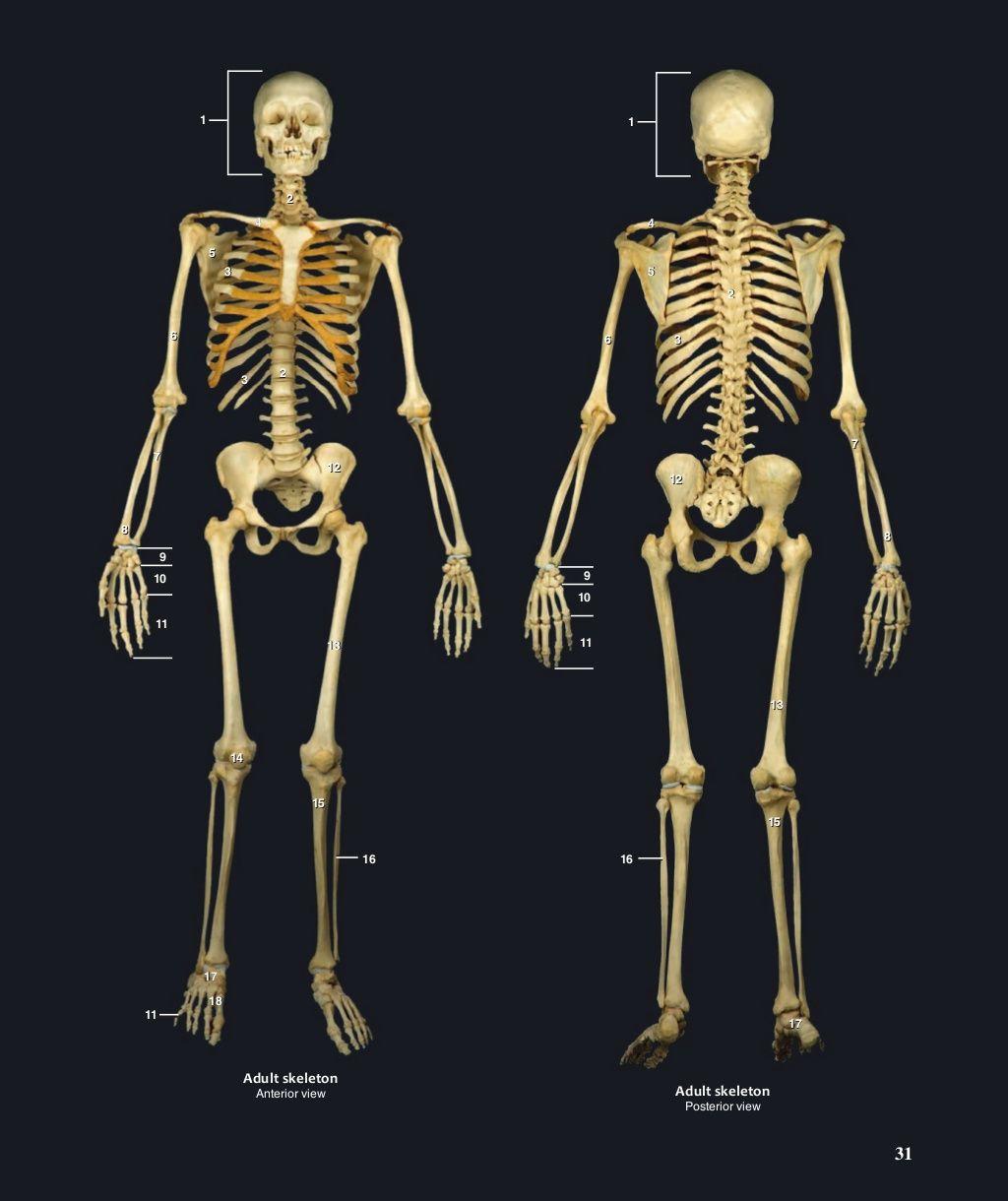 32 Newborn Skeleton Lateral View 1 Cranial Bones 2