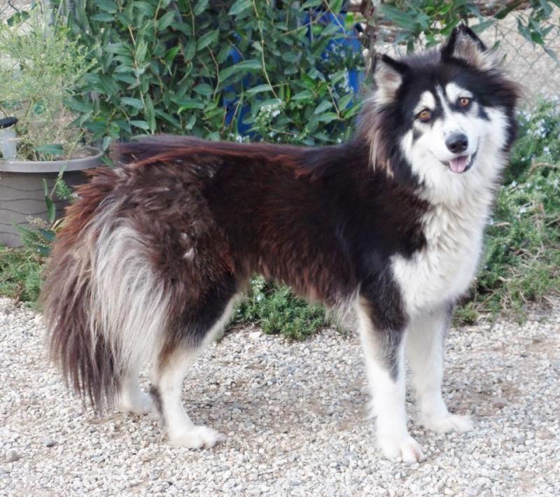 Adopt Foxy on Malamute husky, Dogs, Malamute