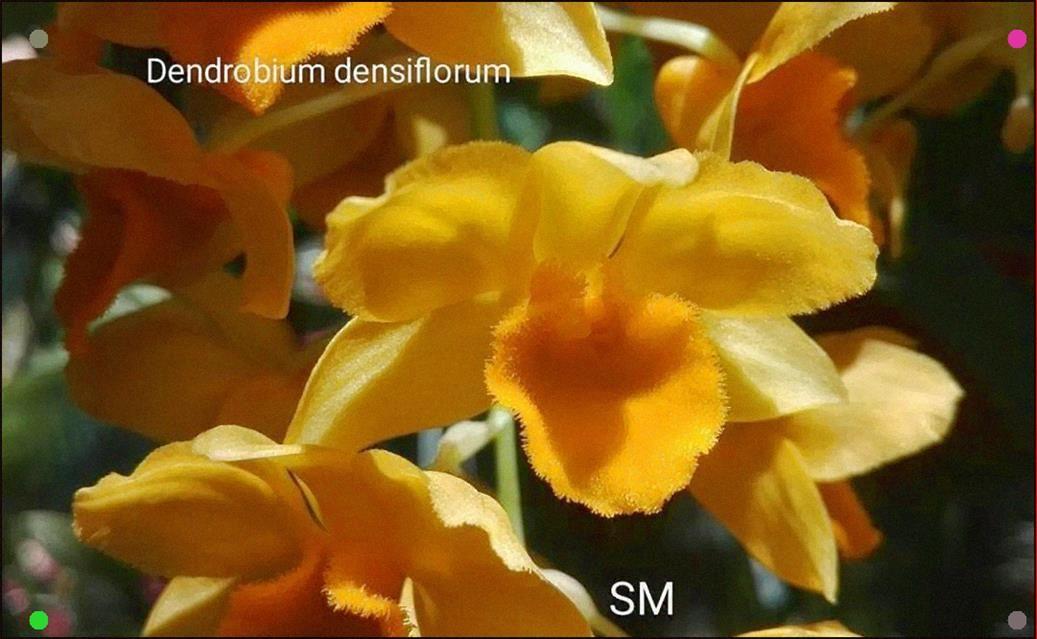 Dendrobium Densiflorum By Monika Sayti Orchid Orchids Dendrobium Orchidaceae Flower Flowers Showmyorchids Plant Plants Ho In 2020 Orchidaceae Orchids Flowers