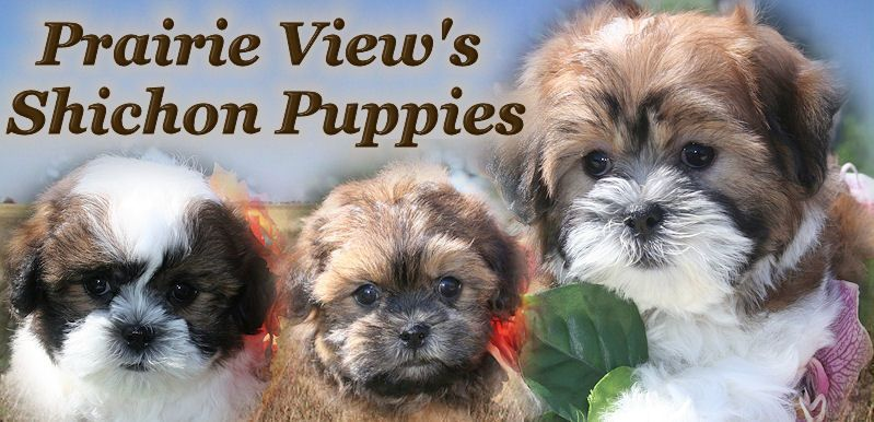Shichon Or Teddy Bear Puppies For Sale In Illinois And Malshi