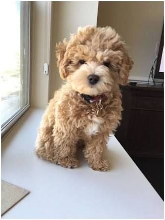Image result for poodle cross Cockapoo dog, Cute baby