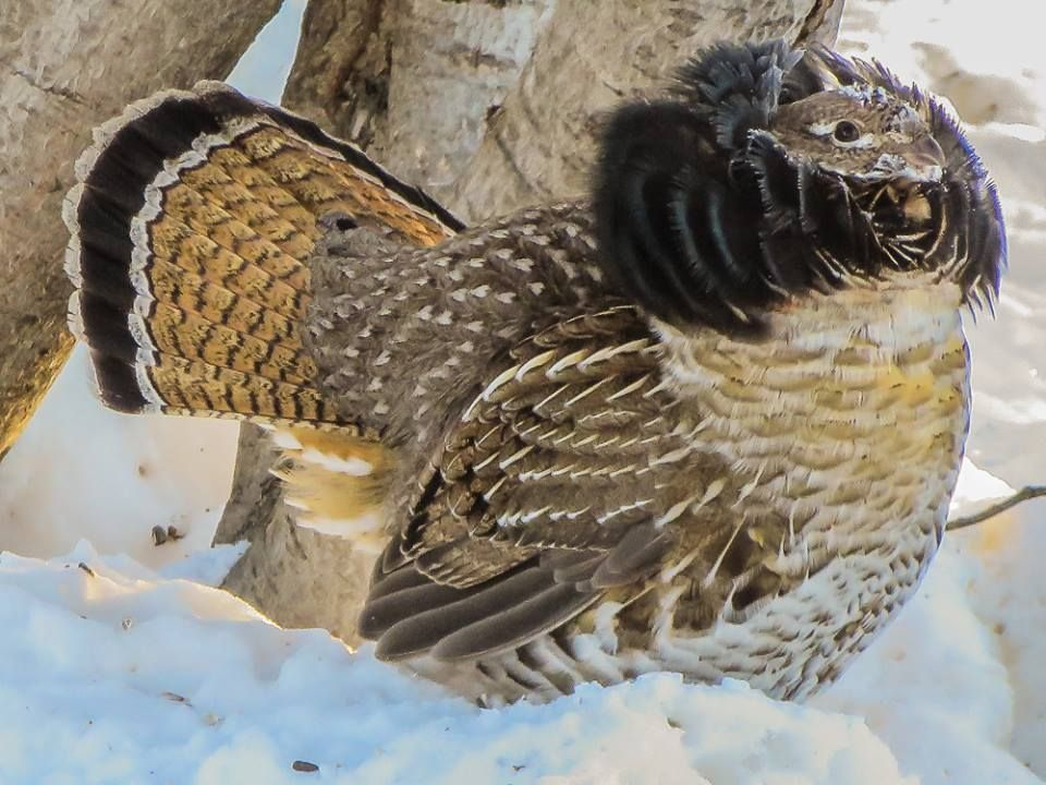 A male Ruffed Grouse (Bonasa umbellus) shows off his breeding plumage to nearby females, Watson Lake, Yukon, Canada.photograph by Susan Drury | Flickr