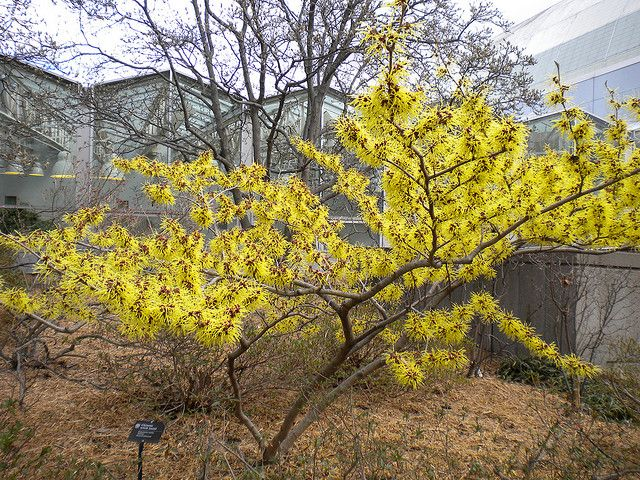 Witchhazel - the forsythia of autumn!  This native shrub wears a unique coat of golden- yellow fall foliage while masses of sweetly spice-scented, yellow blooms appear in October through November. Planting in full sun will result in the heaviest blooming, but it will tolerate some shade.  Hamamelis Virginiana   Zones: 3-9   Height: 10-15'   Bloom Time: Fall