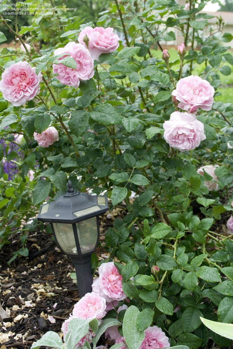 Rosa 'Cottage Rose'. English Rose, Austin Rose. 1991