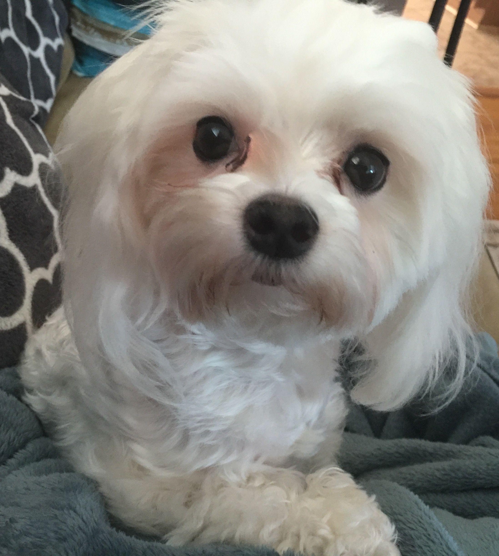 Maltese Cody Maltese Dogs Maltipoo Dog Maltese