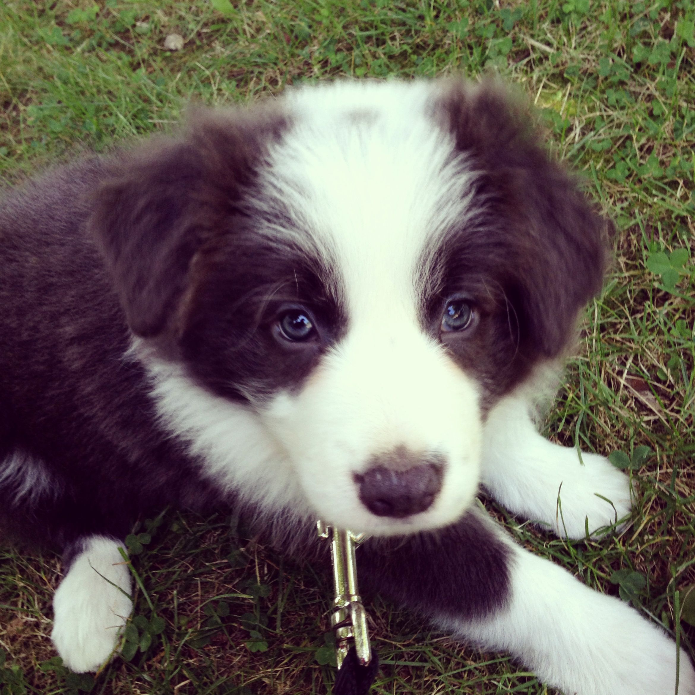 Border collie 7wks cute animals cute dogs collie puppies