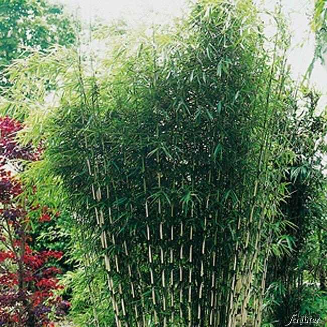 Horstbildender Bambus (ohne Ausläufer) Fargesia robusta