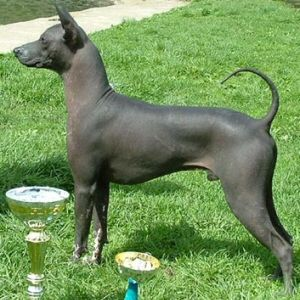 The Xoloitzcuintli Or Xolo Is A Hairless Breed Of Pet Dog Belonging To Mexico Likewise Called Mexican Hairle Hairless Dog Xoloitzcuintli Mexican Hairless Dog
