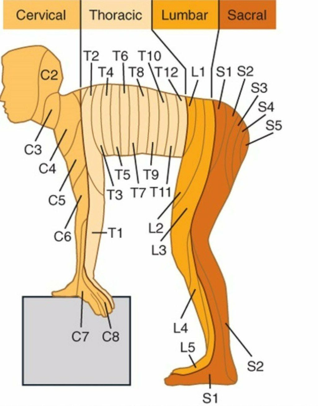 Cervical Thoracic Lumbar And Sacral Areas Use This Diagram To Help You Study The Different