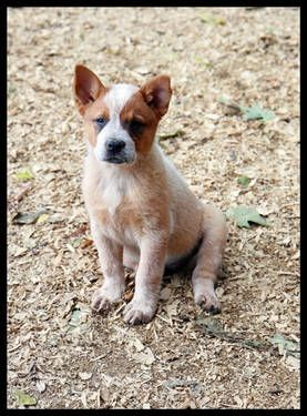 Red Heeler Puppies Look At That Cute Little One I D Get A Girl And Name Her Pepper Heeler Puppies Austrailian Cattle Dog Red Heeler Puppies