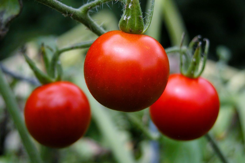 Crop Rotation What To Plant After Tomatoes Tomato Garden Growing Organic Tomatoes Growing Tomatoes In Containers